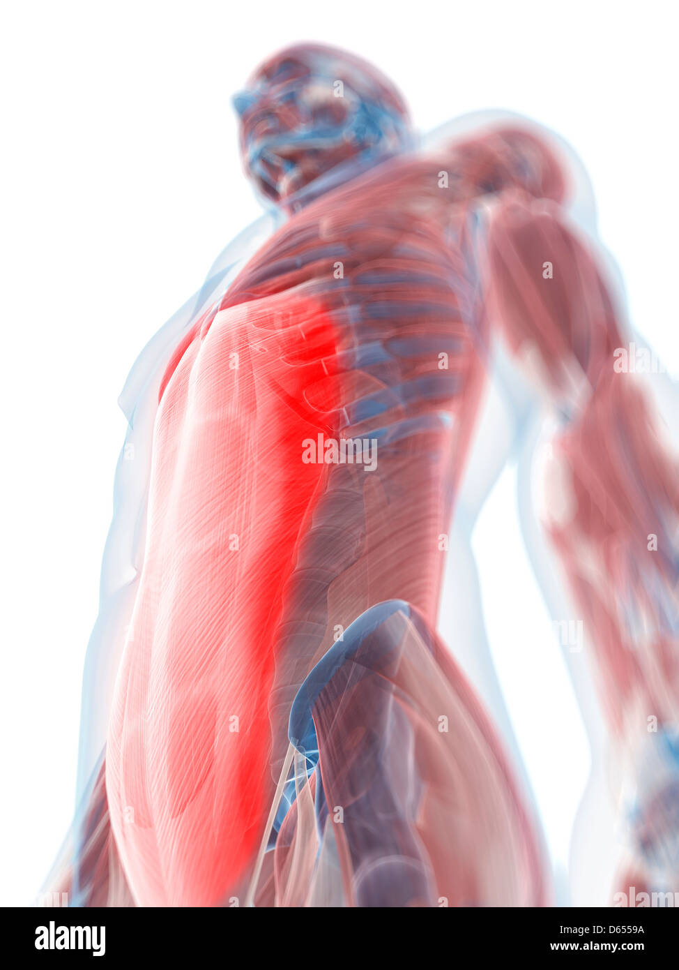 Rectus abdominis muscle, artwork Stock Photo: 55432982 - Alamy