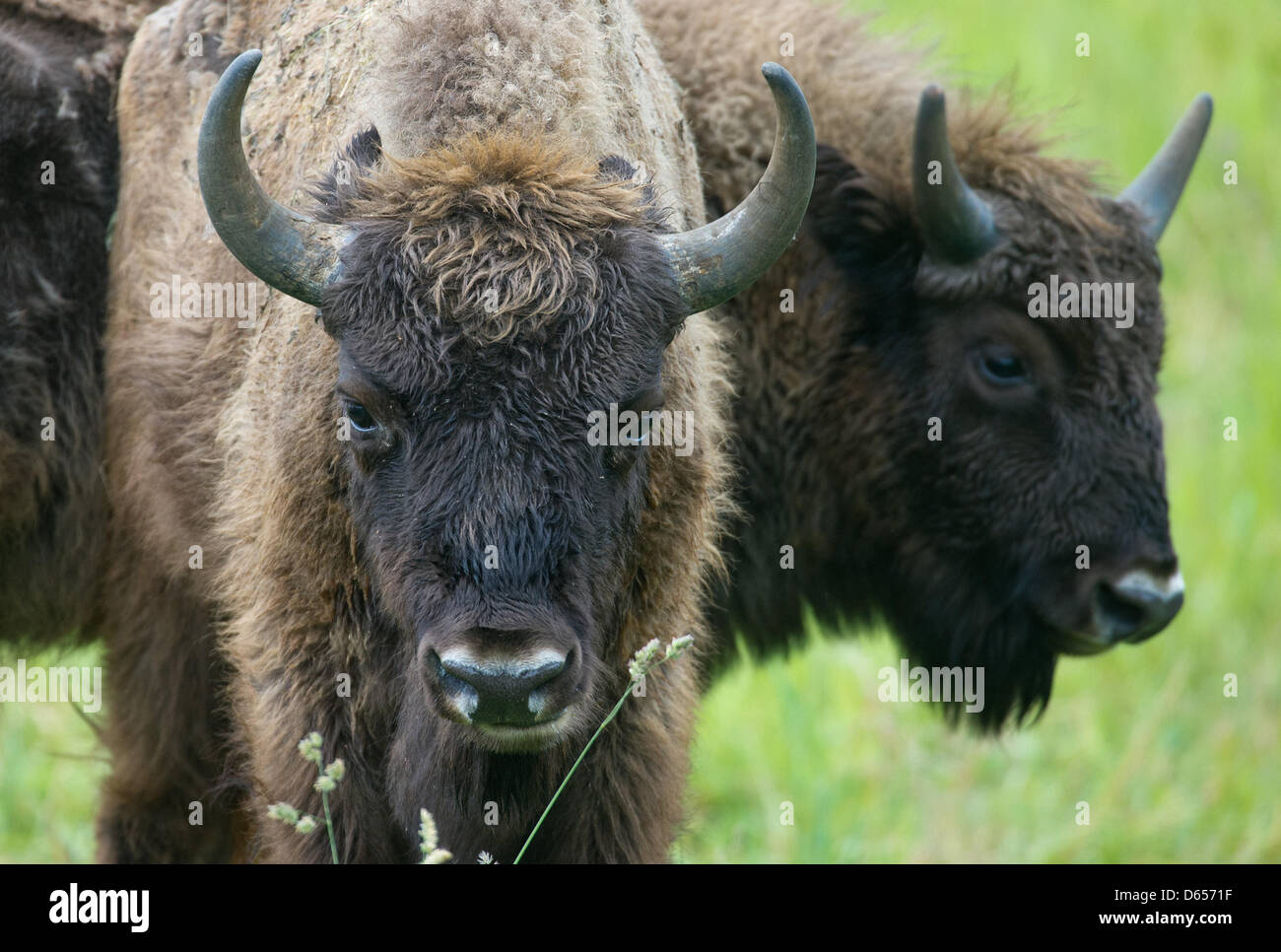Two European bisons (Bison bonasus) stand on a meadow in the national park Unteres Odertal in Criewen, Germany, - Stock Image