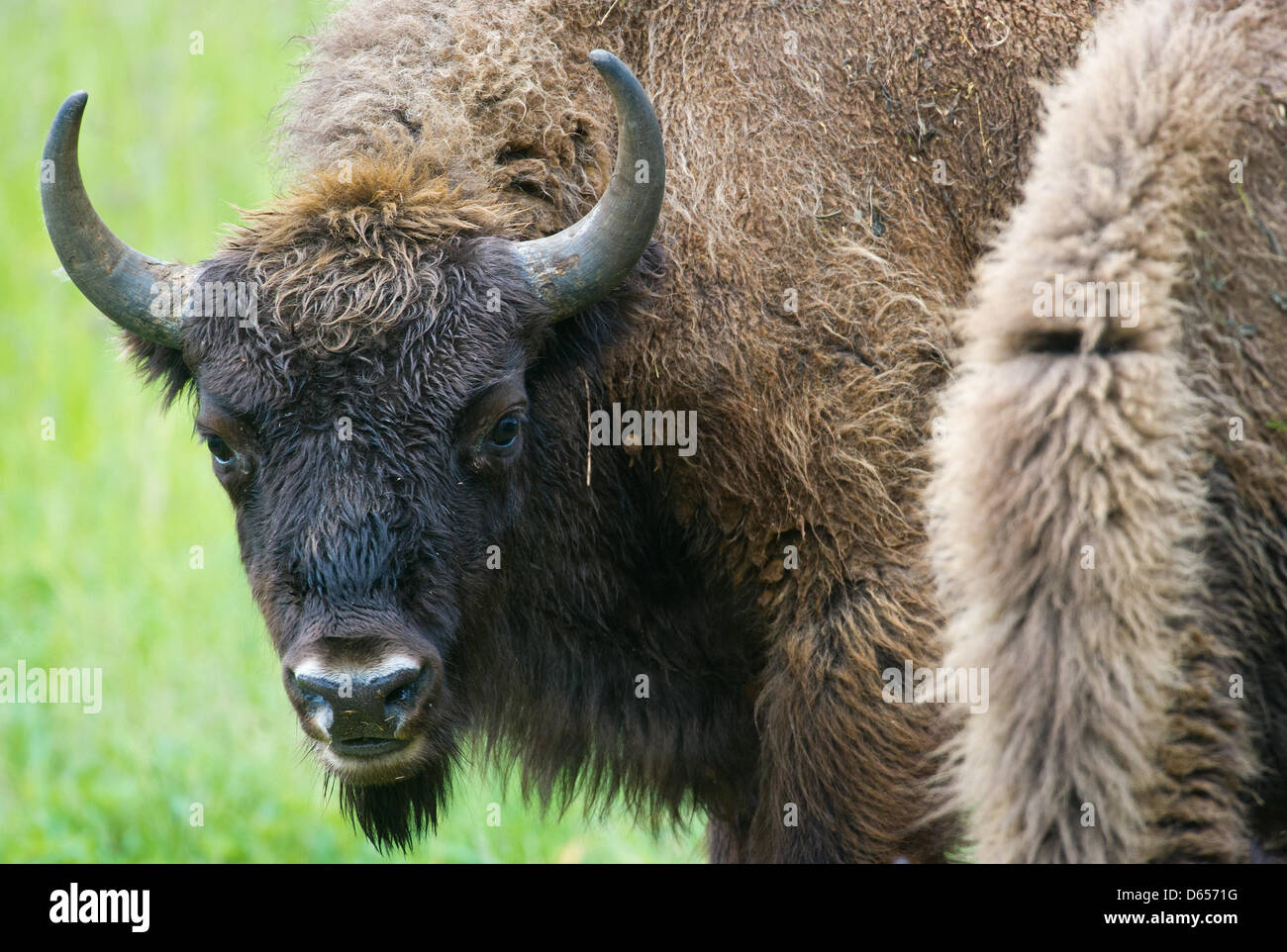 A European bison (Bison bonasus) stands on a meadow in the national park Unteres Odertal in Criewen, Germany, 05 - Stock Image