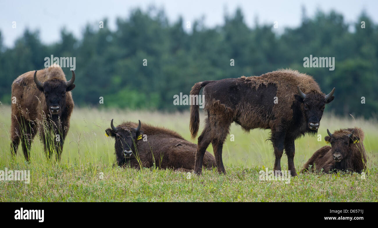 Four European bisons (Bison bonasus) stand on a meadow in the national park Unteres Odertal in Criewen, Germany, - Stock Image