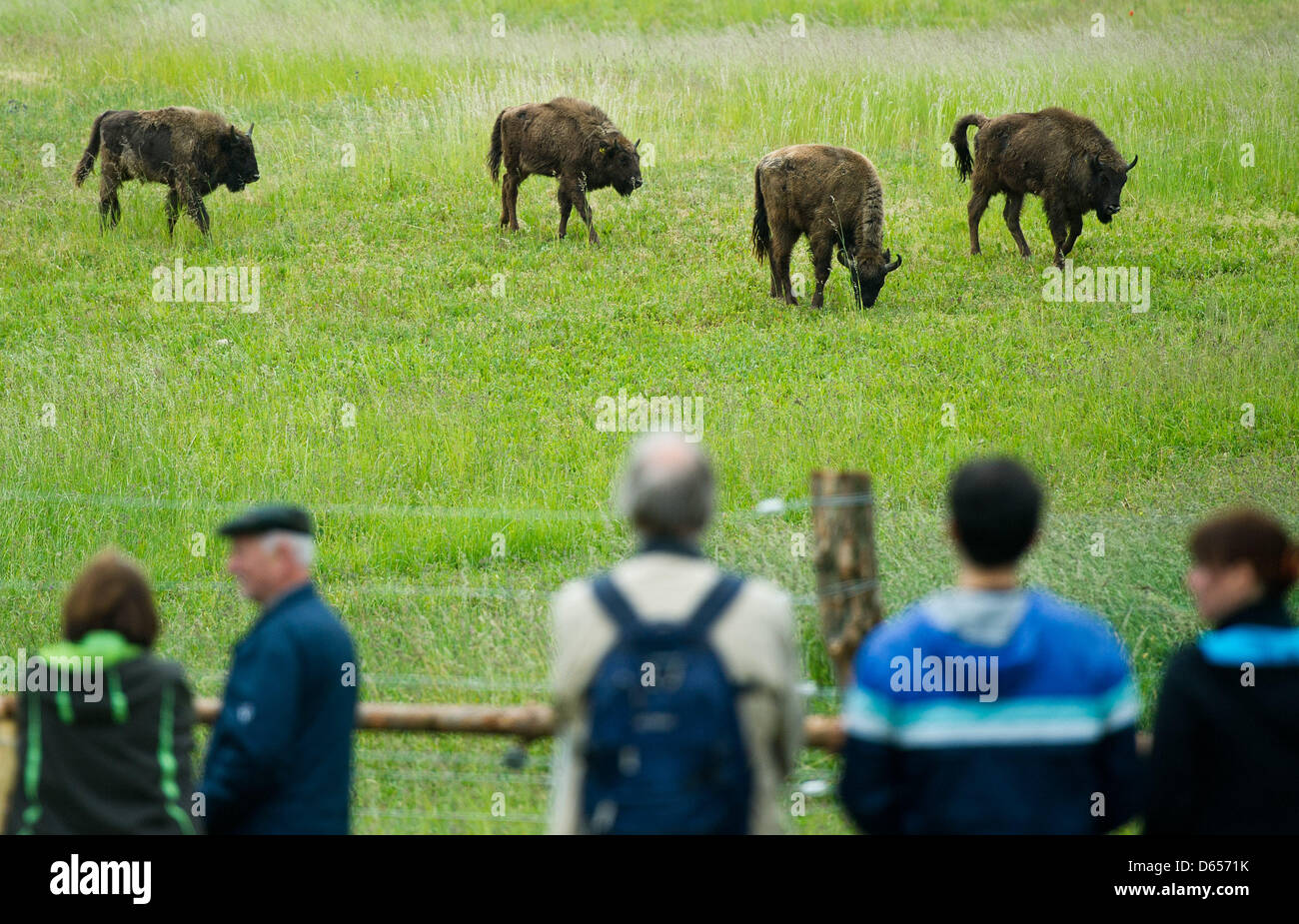 Visitors watch four European bisons (Bison bonasus) on a meadow in the national park Unteres Odertal in Criewen, - Stock Image