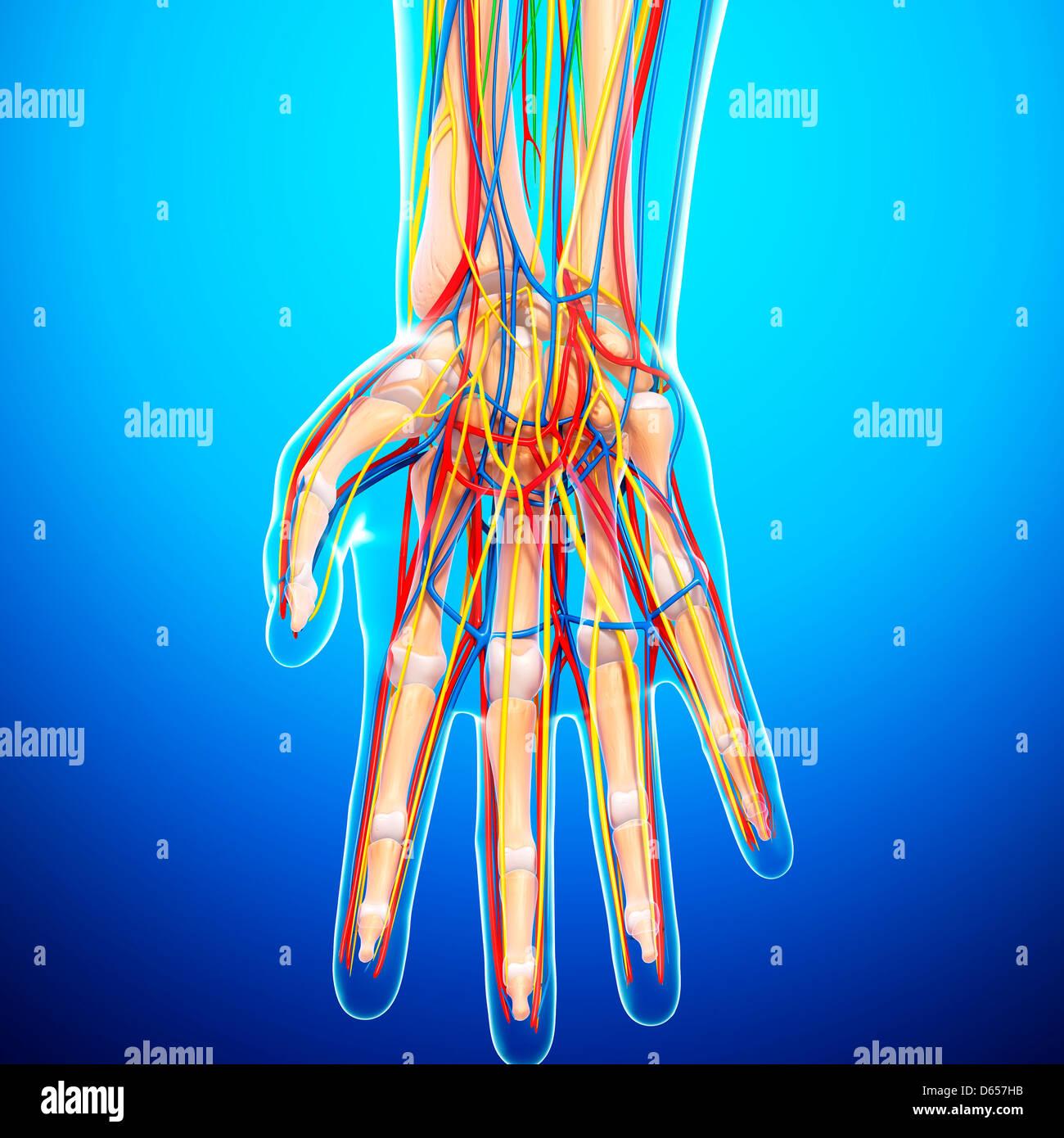 Hand Anatomy Artwork Blue Stock Photos Hand Anatomy Artwork Blue