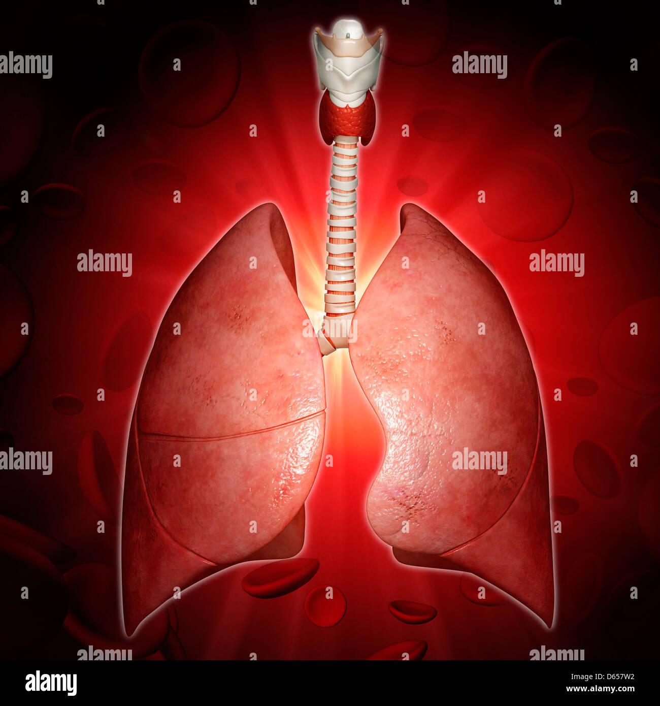Respiratory system, artwork - Stock Image