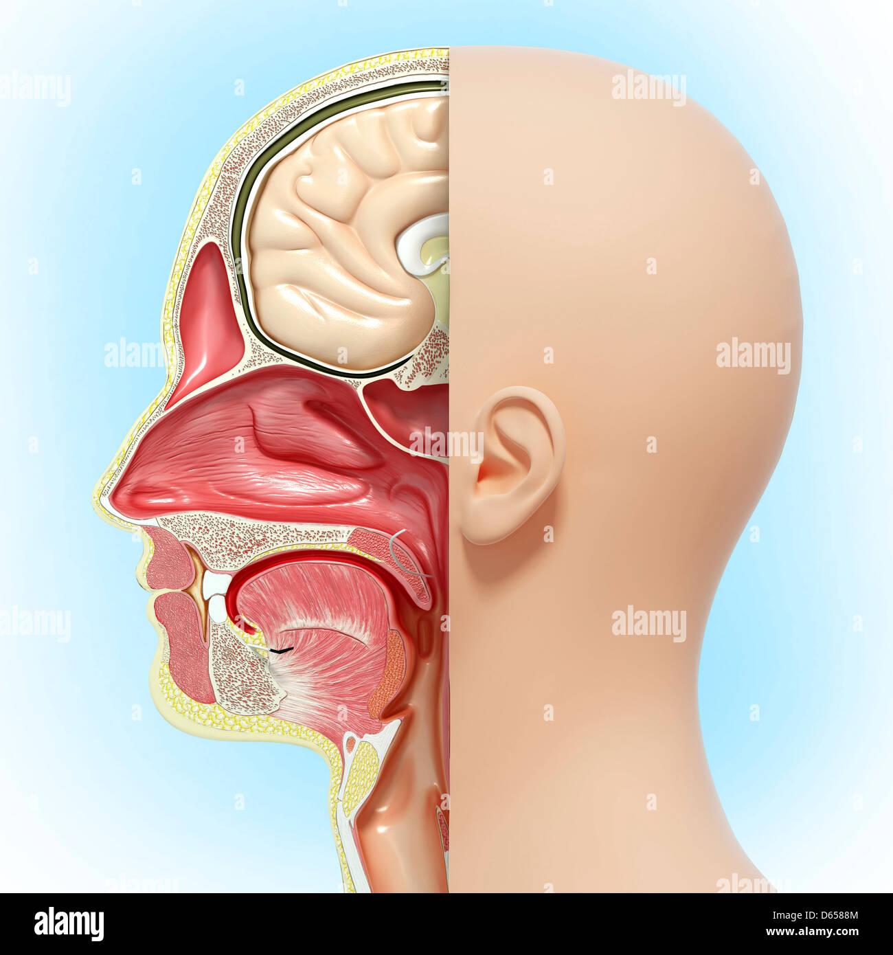 Anatomy Of Human Tongue Stock Photos Anatomy Of Human Tongue Stock