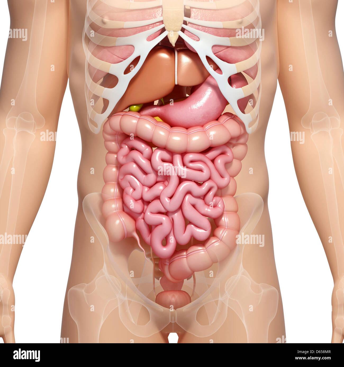 Male digestive system, artwork Stock Photo: 55435655 - Alamy