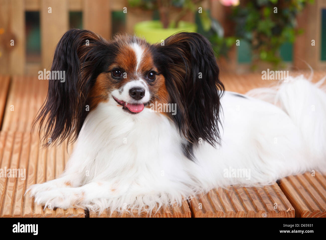 Papillon / Continental Toy Spaniel, Butterfly Dog - Stock Image