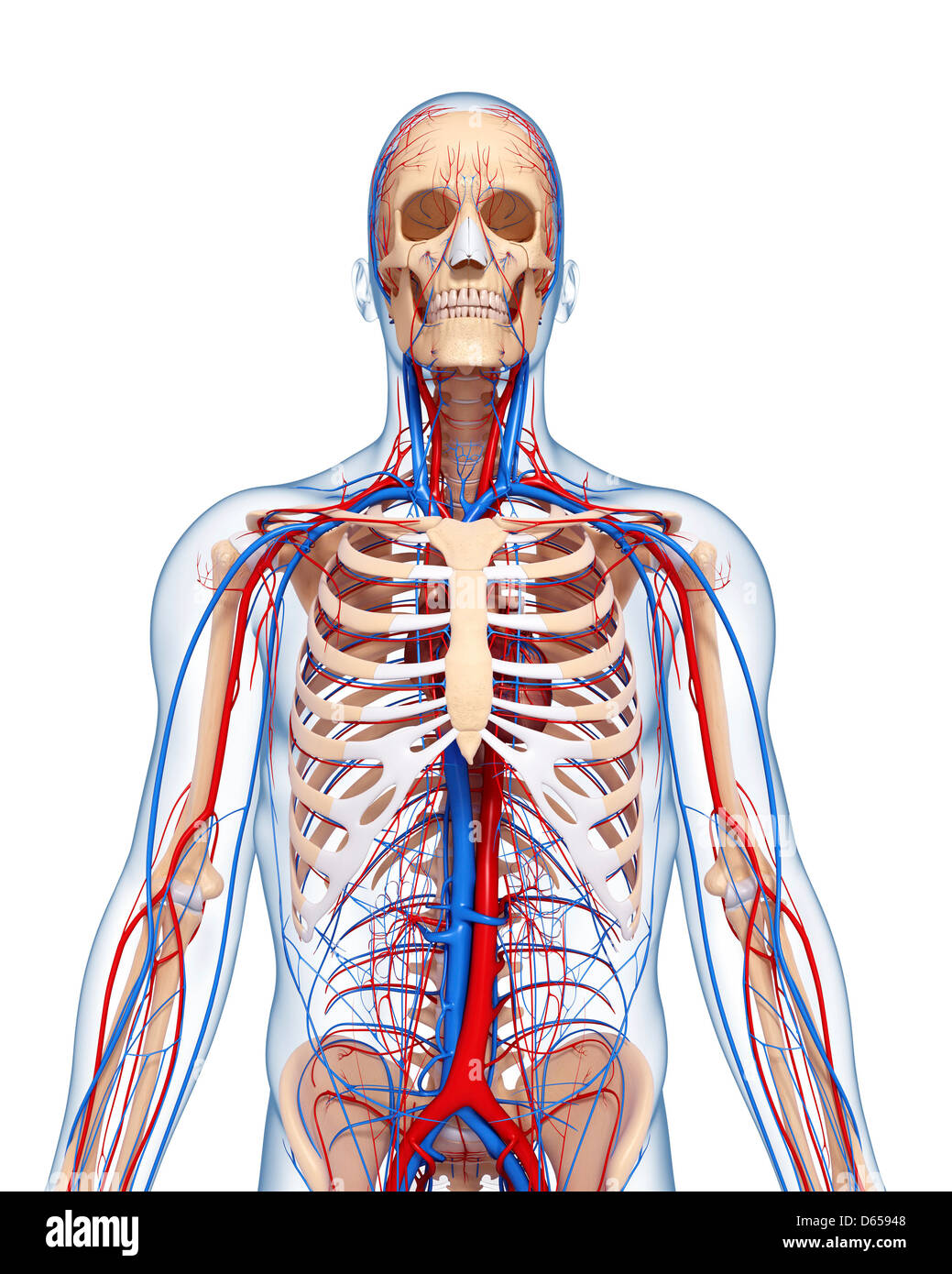 Upper body anatomy, artwork Stock Photo: 55435976 - Alamy