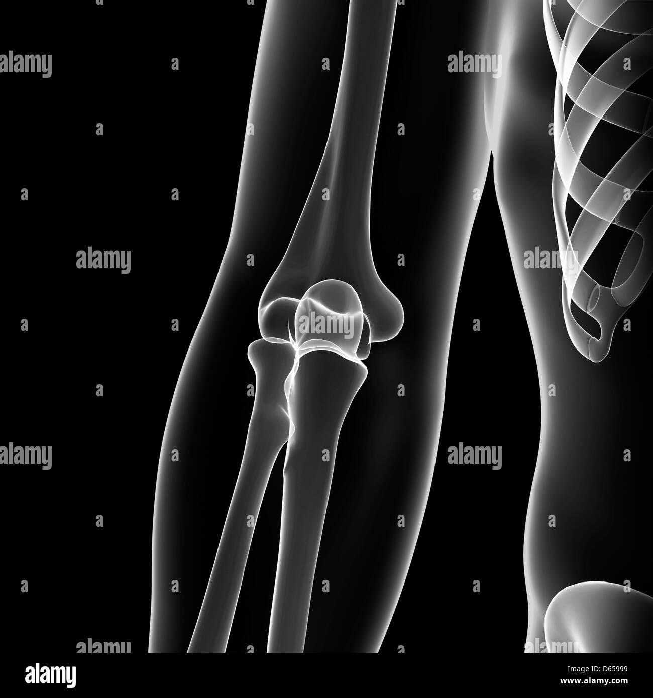 Elbow Bone Stock Photos Elbow Bone Stock Images Alamy