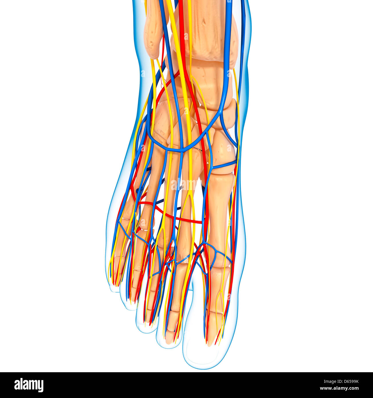 Human Foot Anatomy Stock Photos Human Foot Anatomy Stock Images