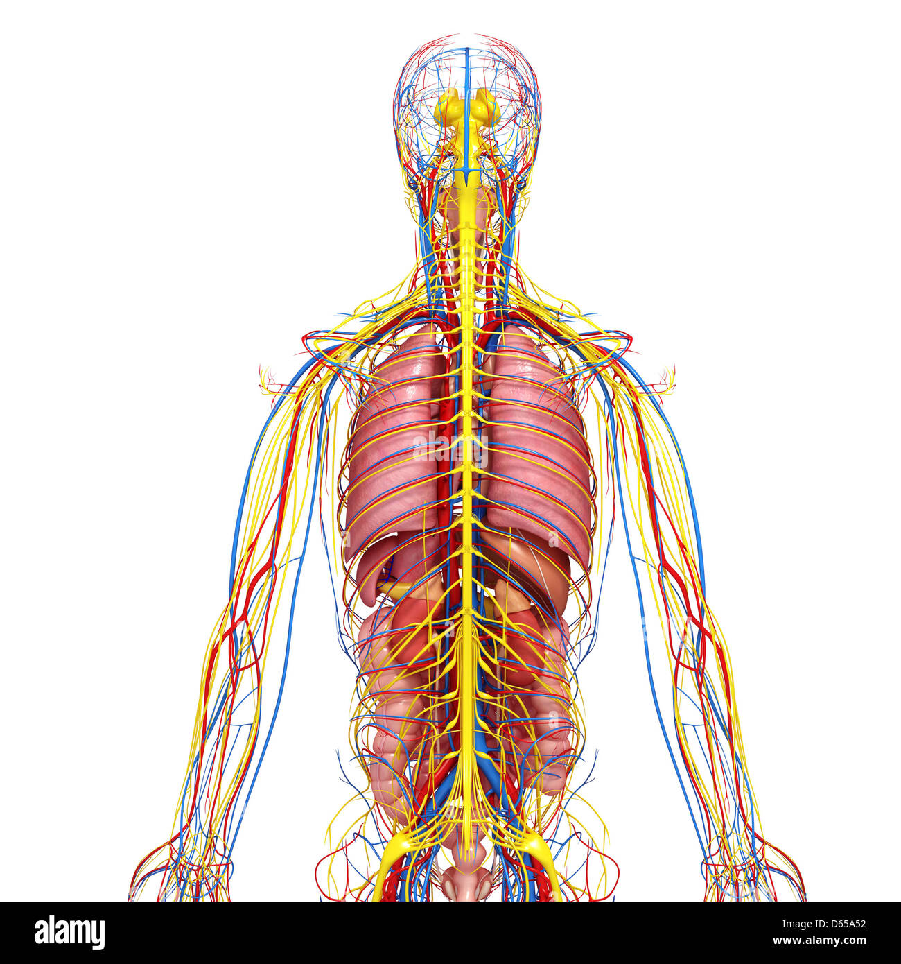 Human Kidney Anatomy Adrenal Gland Stock Photos & Human Kidney ...