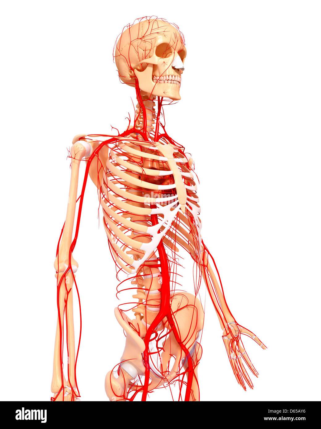 Human Arteries Artwork Stock Photo 55437402 Alamy
