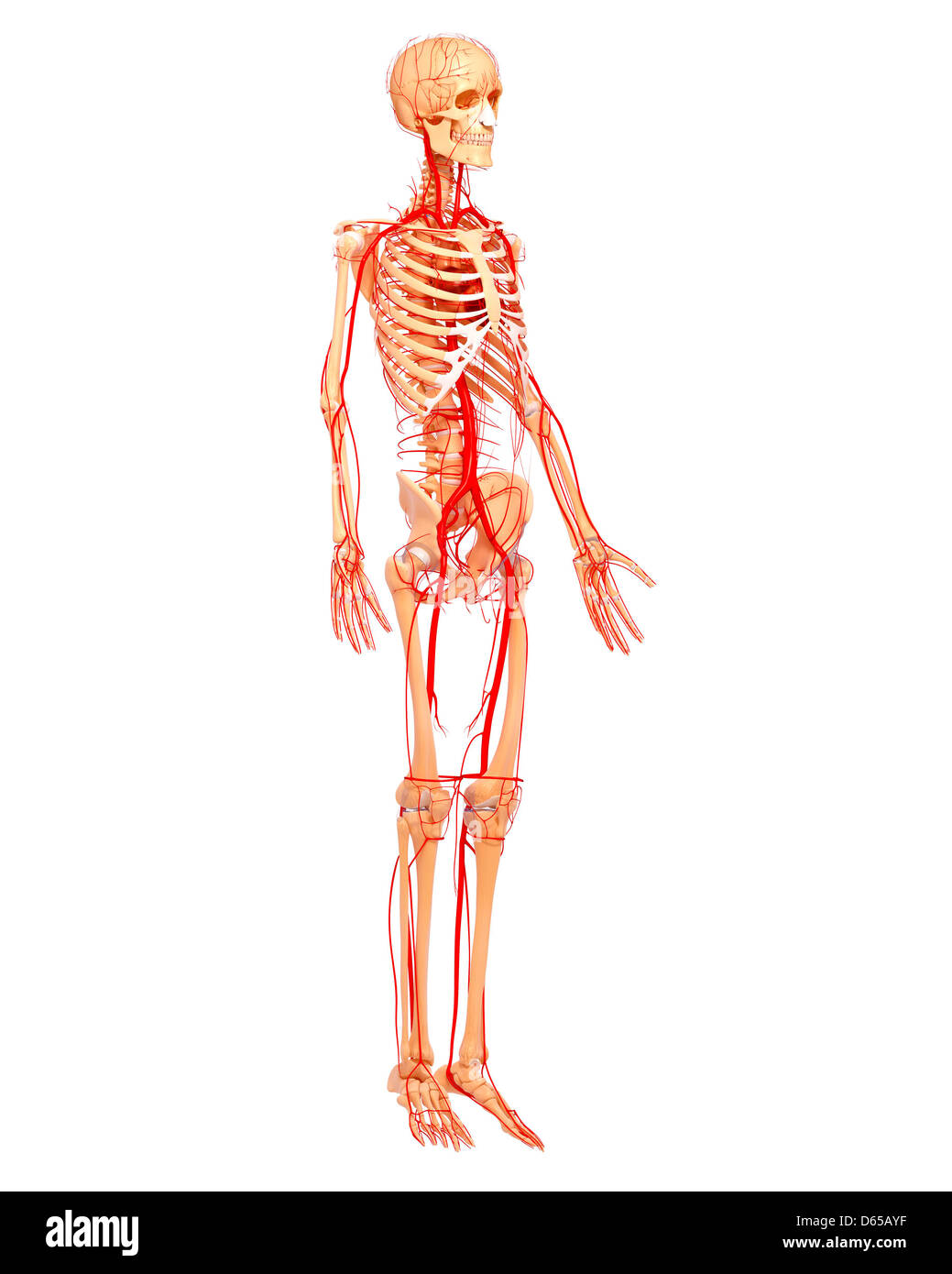 Femoral Artery Stock Photos & Femoral Artery Stock Images - Page 8 ...