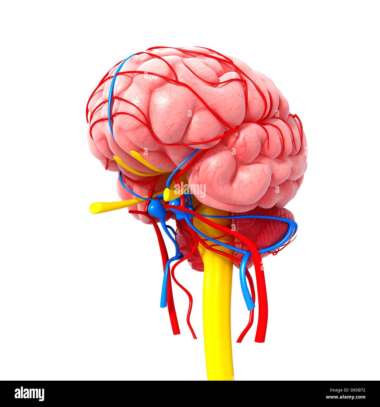 Brain Circulation Stock Photos & Brain Circulation Stock Images - Alamy