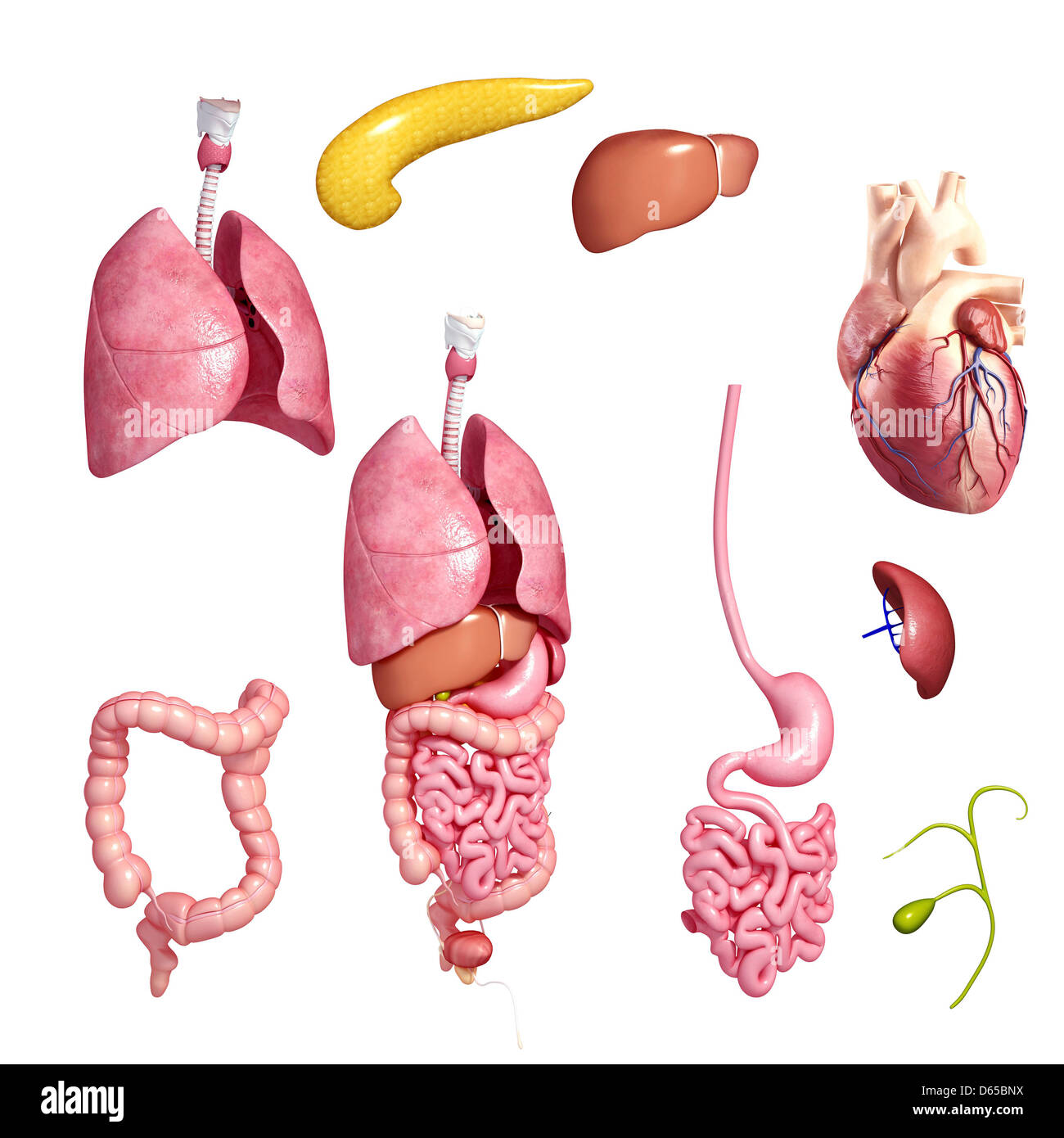 Human organs, artwork - Stock Image