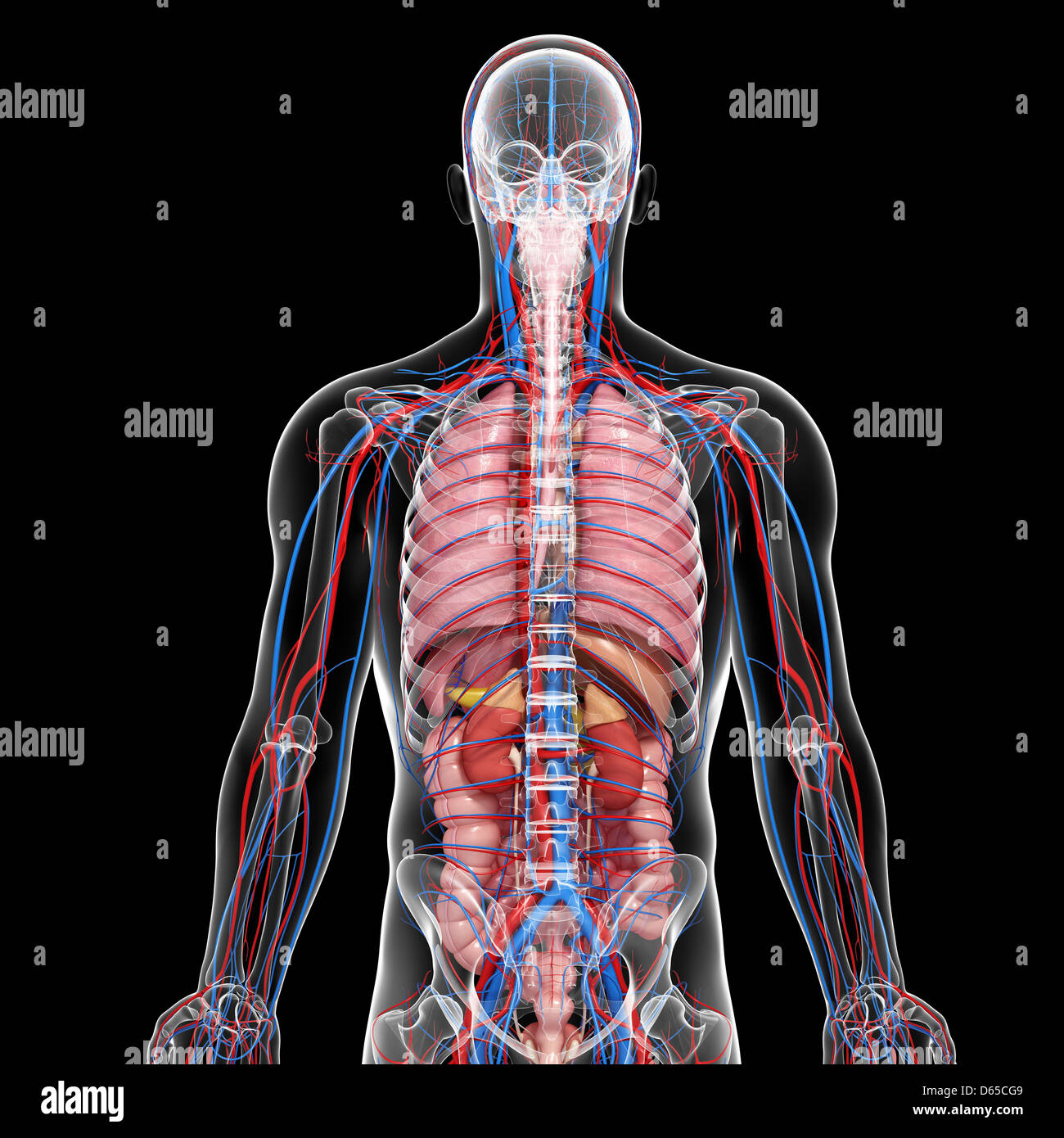 Human Kidney Anatomy Adrenal Gland Stock Photos Human Kidney