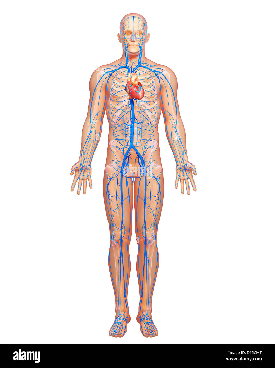Body Veins Stock Photos Body Veins Stock Images Alamy