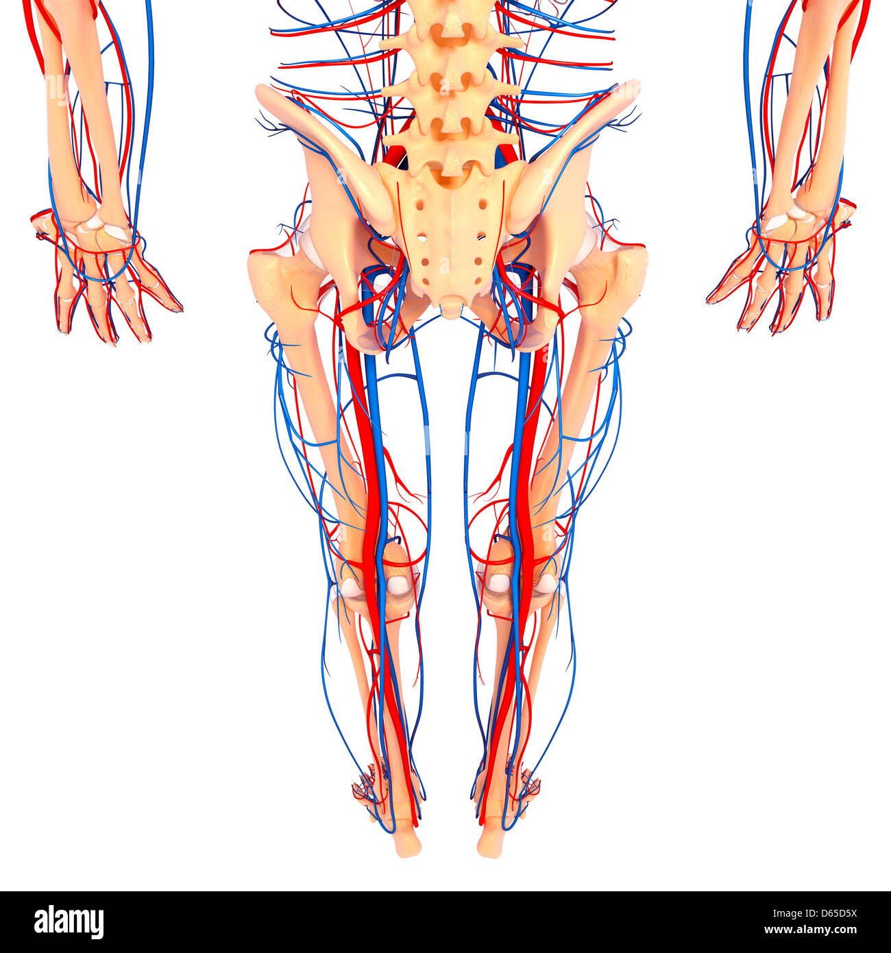 Lower Body Anatomy Artwork Stock Photo 55439158 Alamy