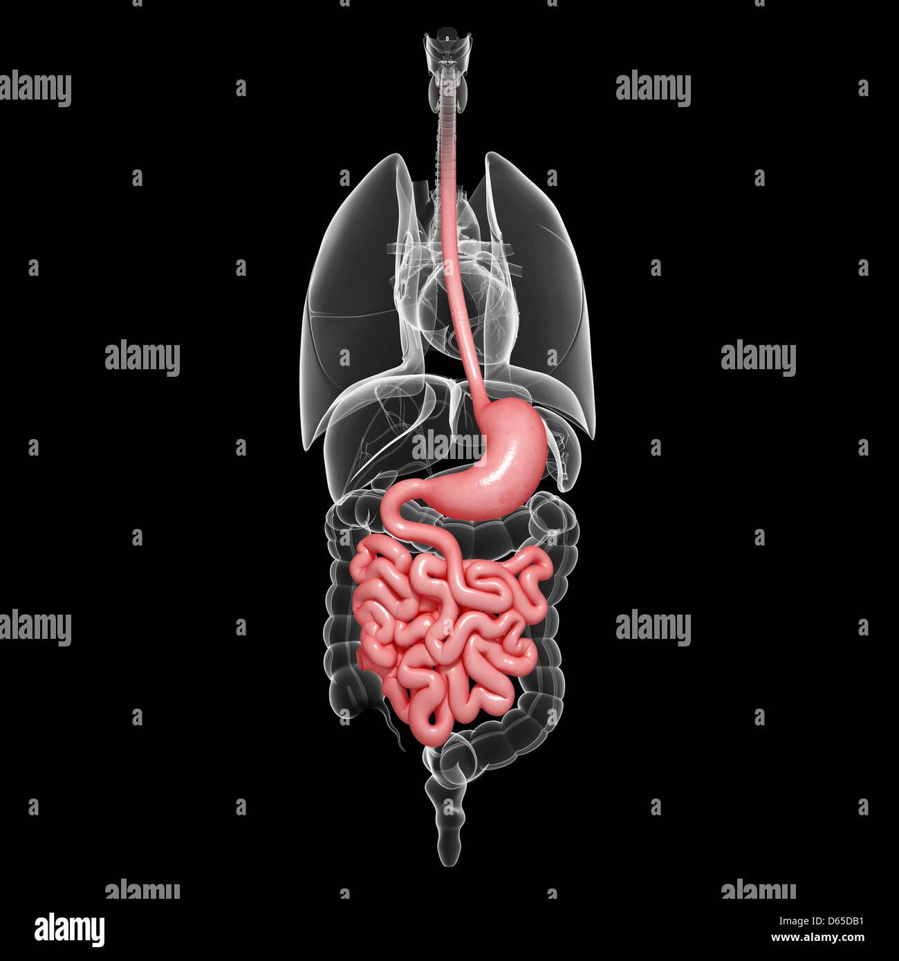 Human Digestive System Organs Stock Photos Human Digestive System