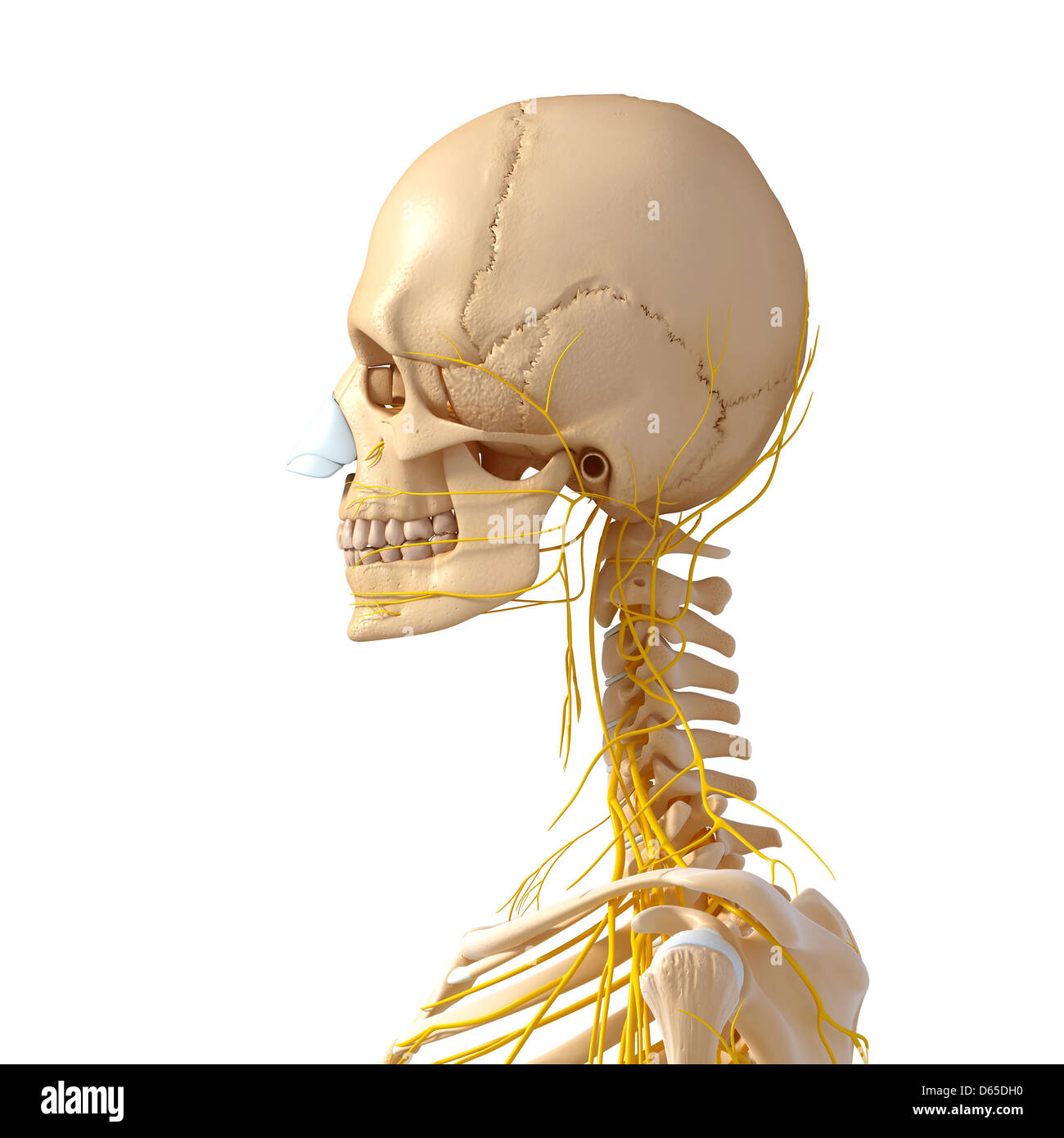 Human Neck Anatomy Stock Photos Human Neck Anatomy Stock Images