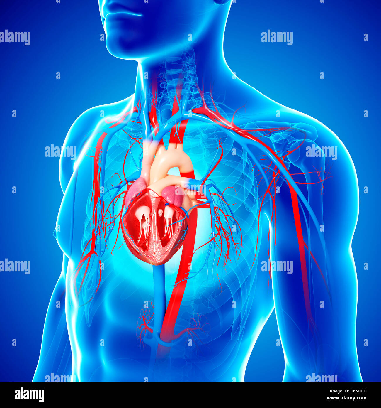 Male Chest Anatomy Heart Veins Stock Photos Male Chest Anatomy