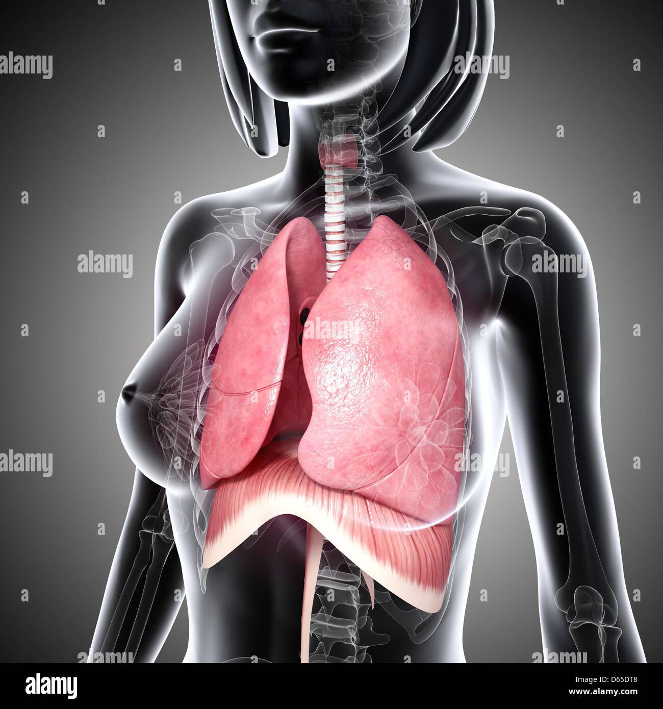Organ Of The Respiratory System Stock Photos & Organ Of The ...