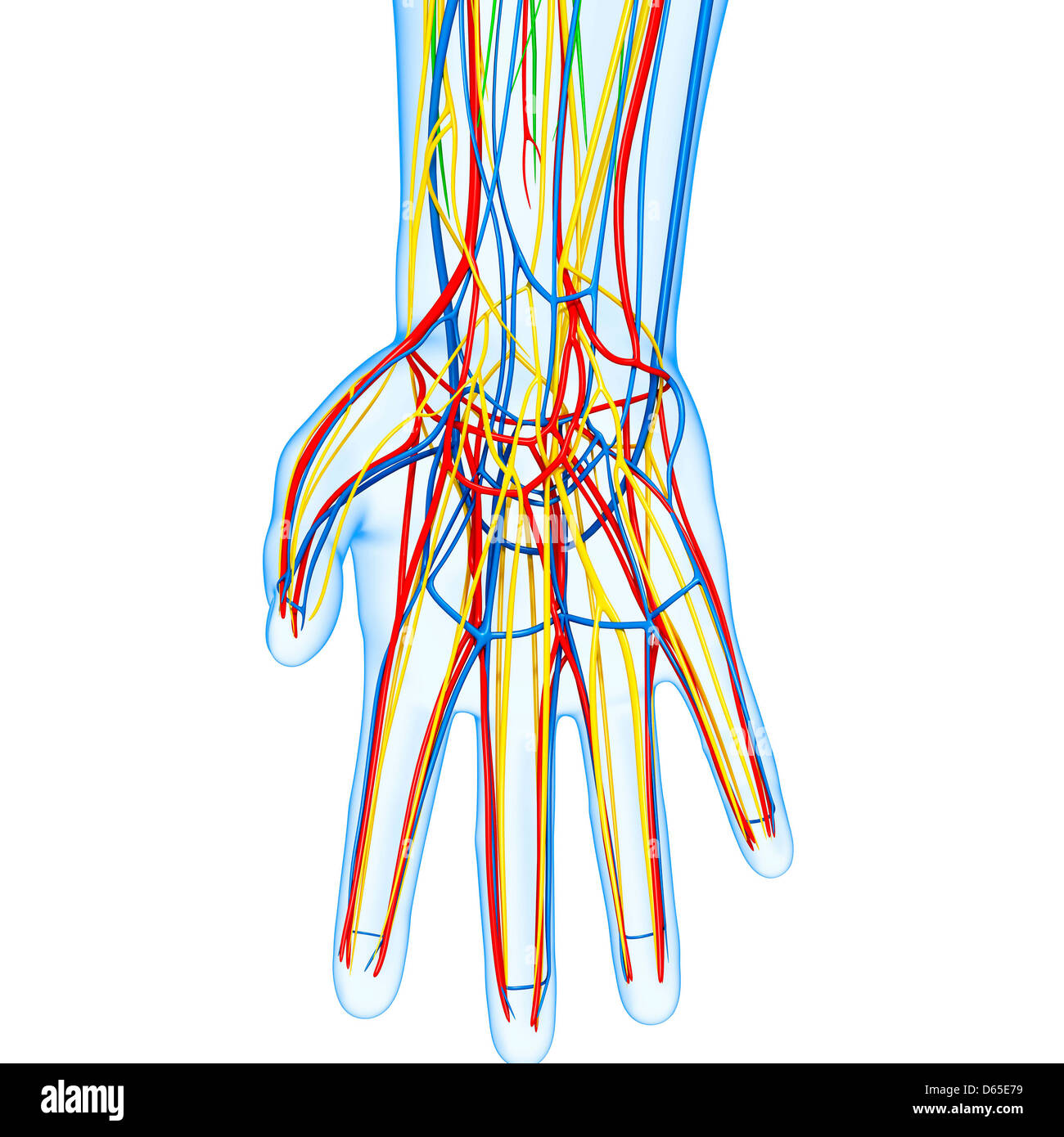 Human Hand Bones Artwork Stock Photos & Human Hand Bones Artwork ...