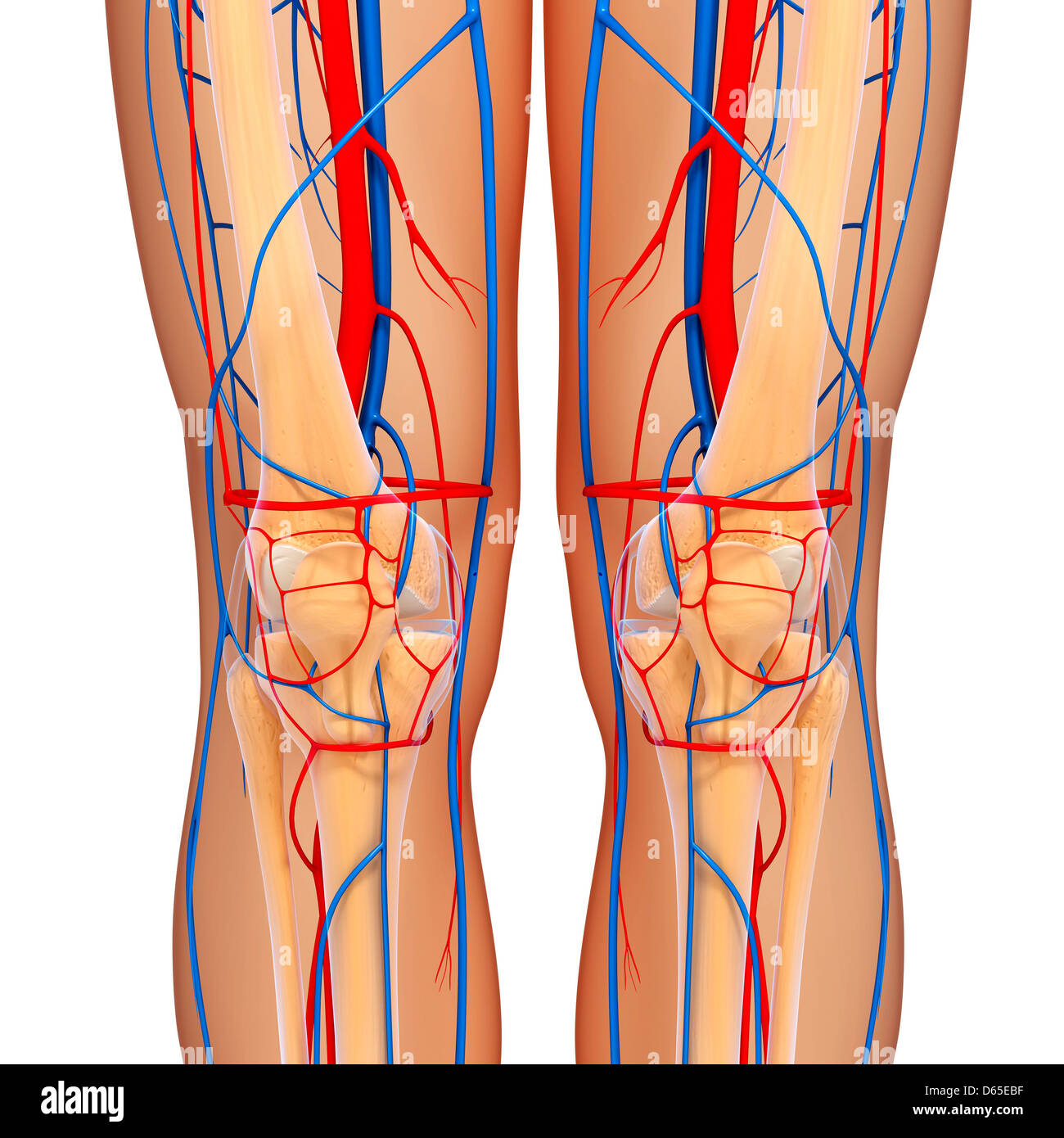 Knee anatomy, artwork Stock Photo: 55440099 - Alamy