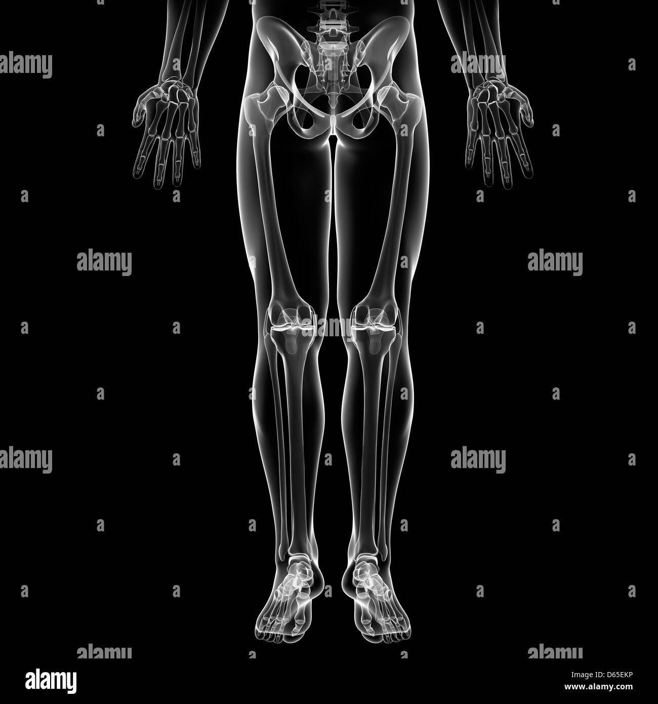 Lower body bones, artwork - Stock Image