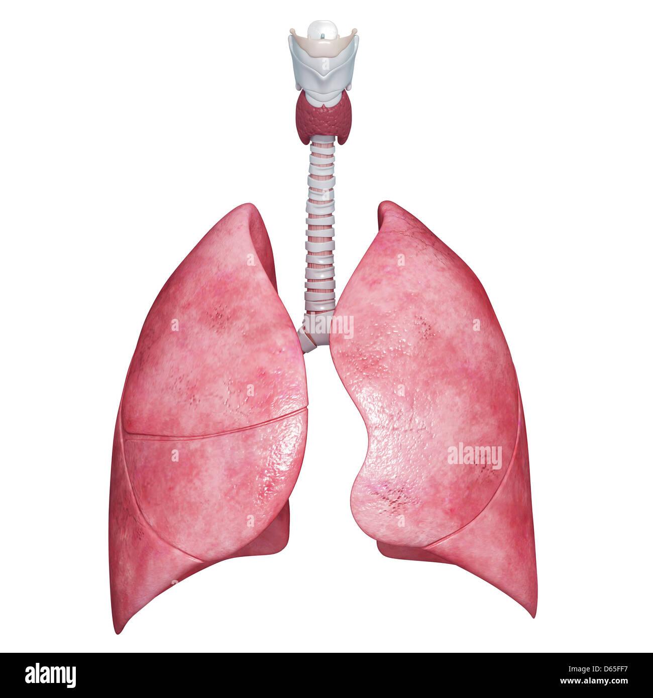 Human lungs, artwork - Stock Image