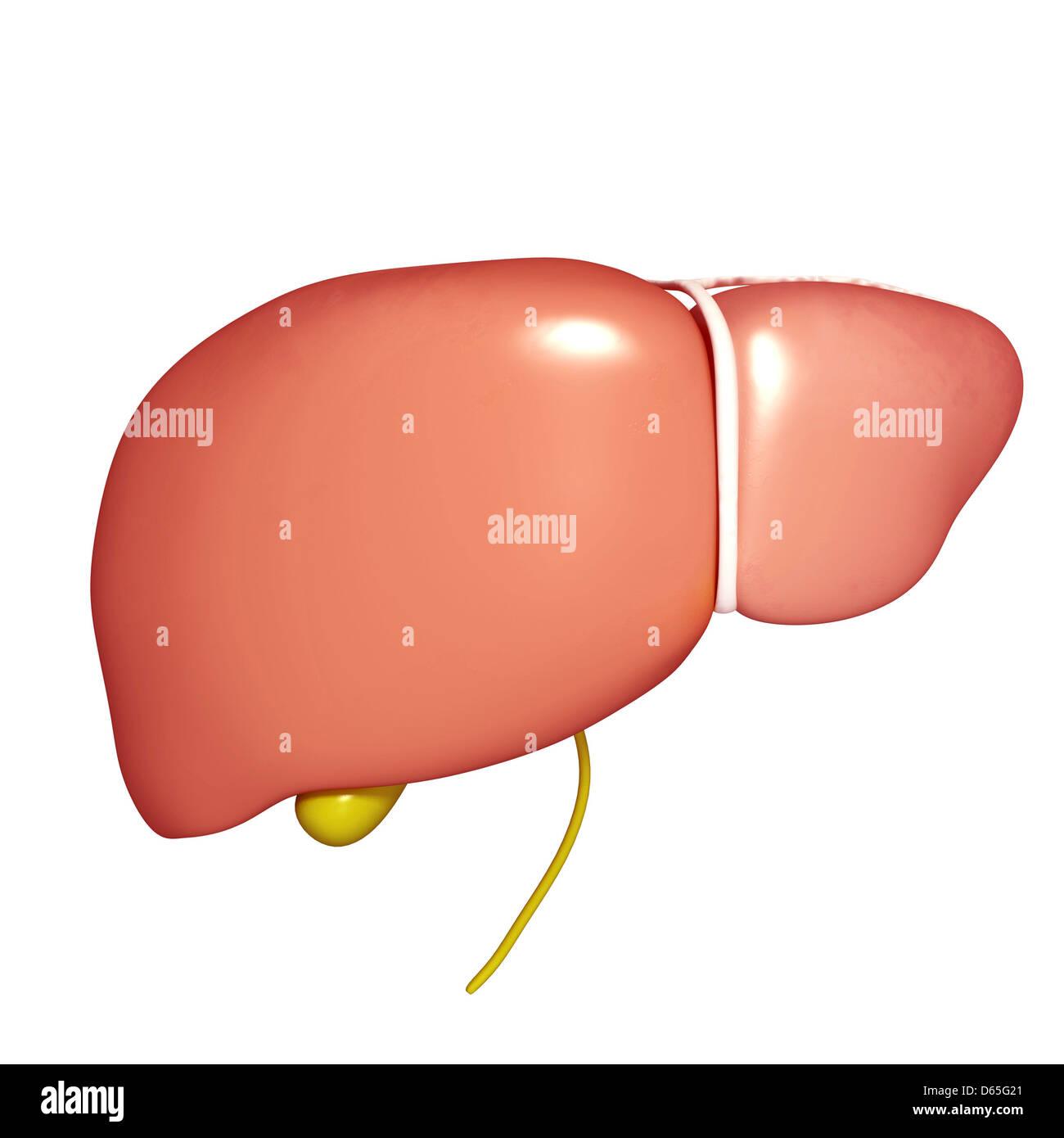 Liver And Gallbladder Stock Photos Liver And Gallbladder Stock