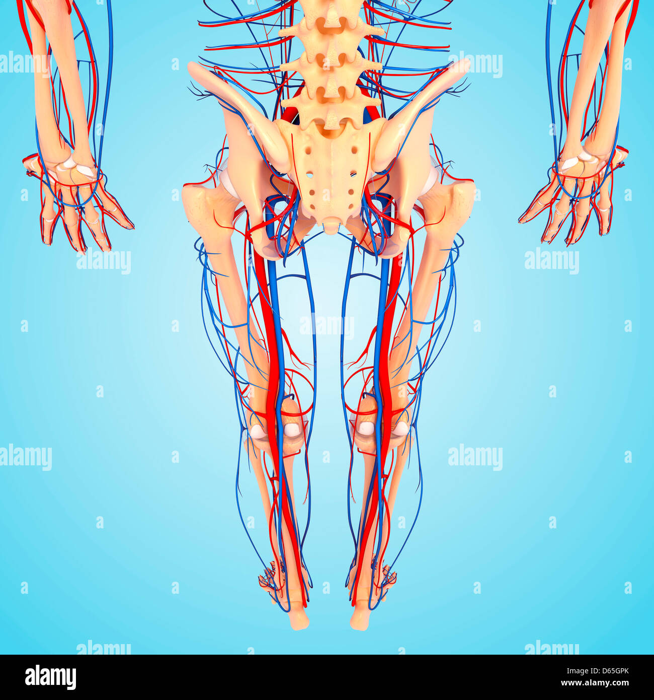 Lower Body Anatomy Artwork Stock Photo 55441979 Alamy