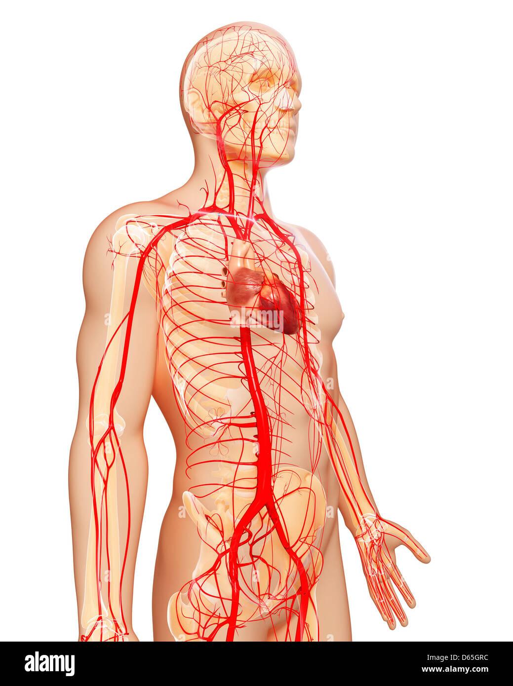 Human Arteries Artwork Stock Photo 55442000 Alamy