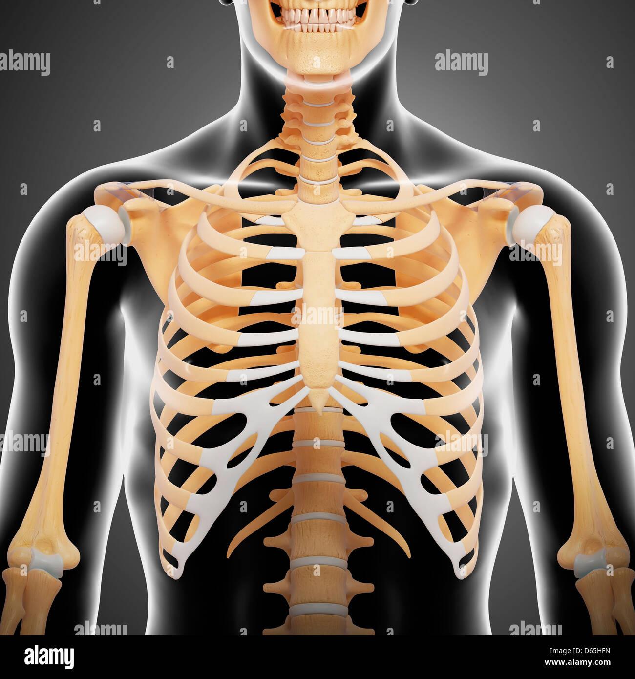 Upper body bones, artwork - Stock Image