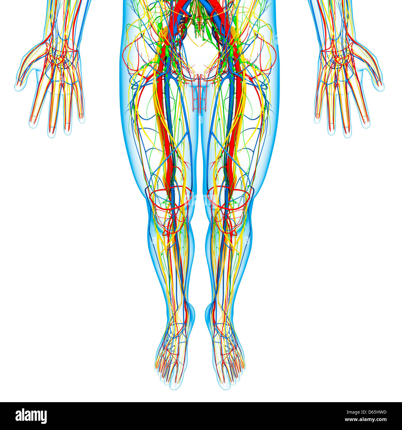 Lower Body Anatomy Artwork Stock Photo 55442841 Alamy