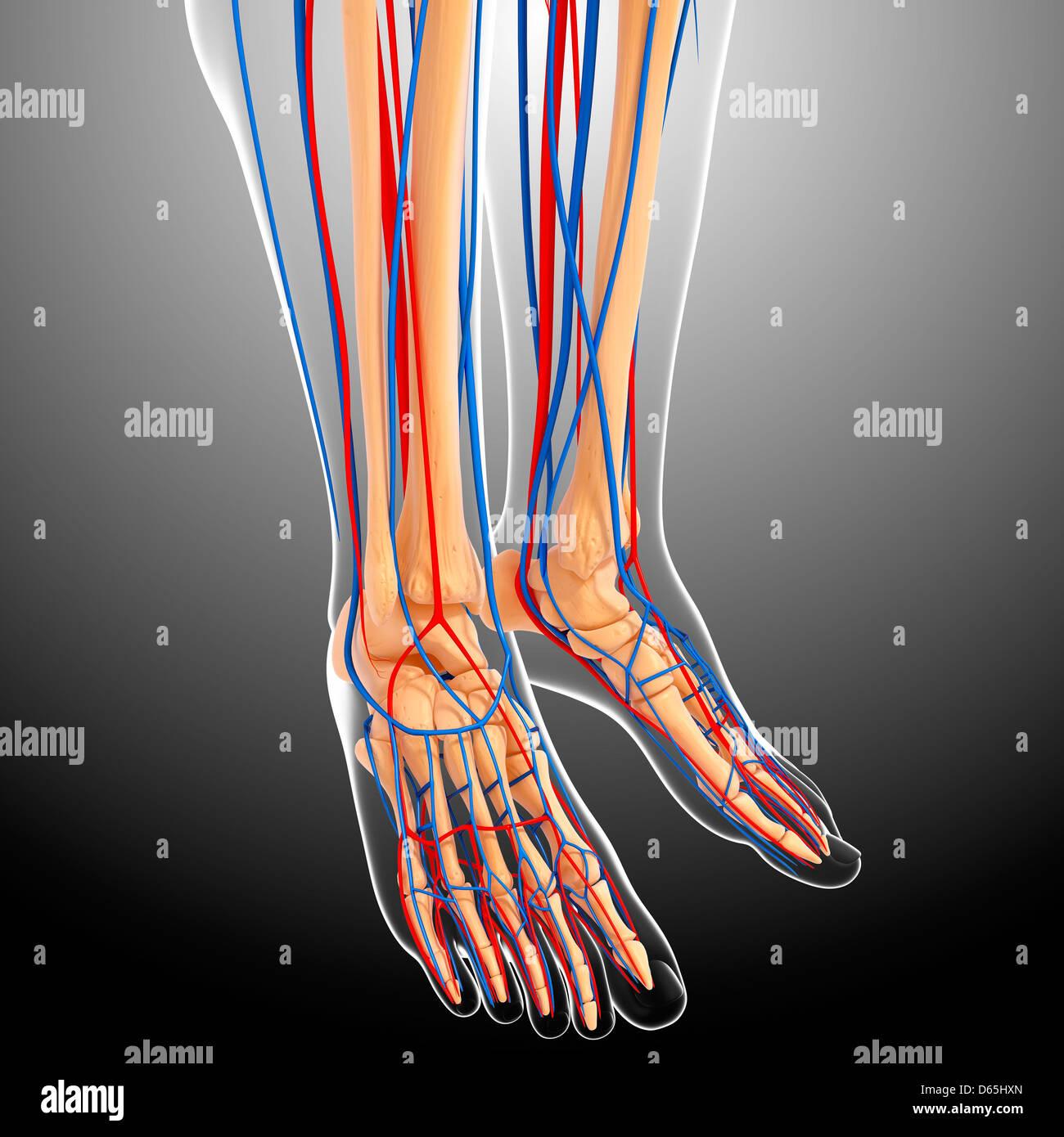 lower leg anatomy, artwork - Stock Image
