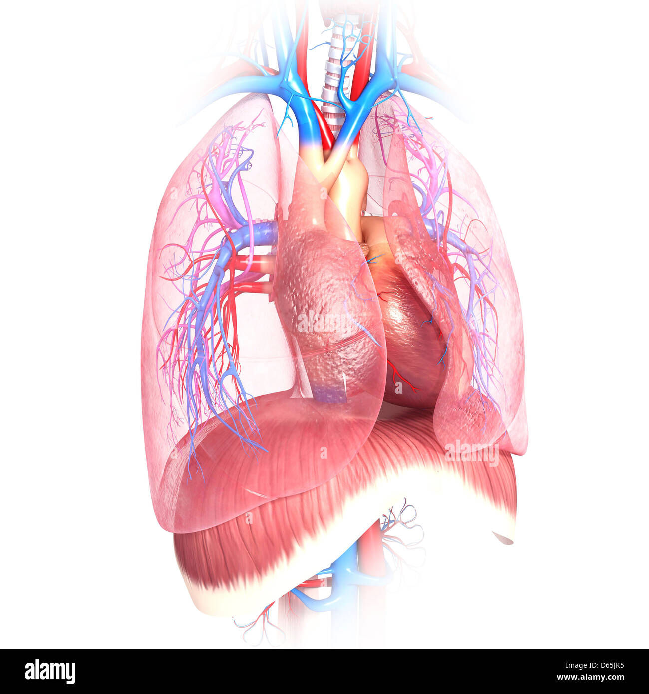Diaphragm Chest Cut Out Stock Images Pictures Alamy