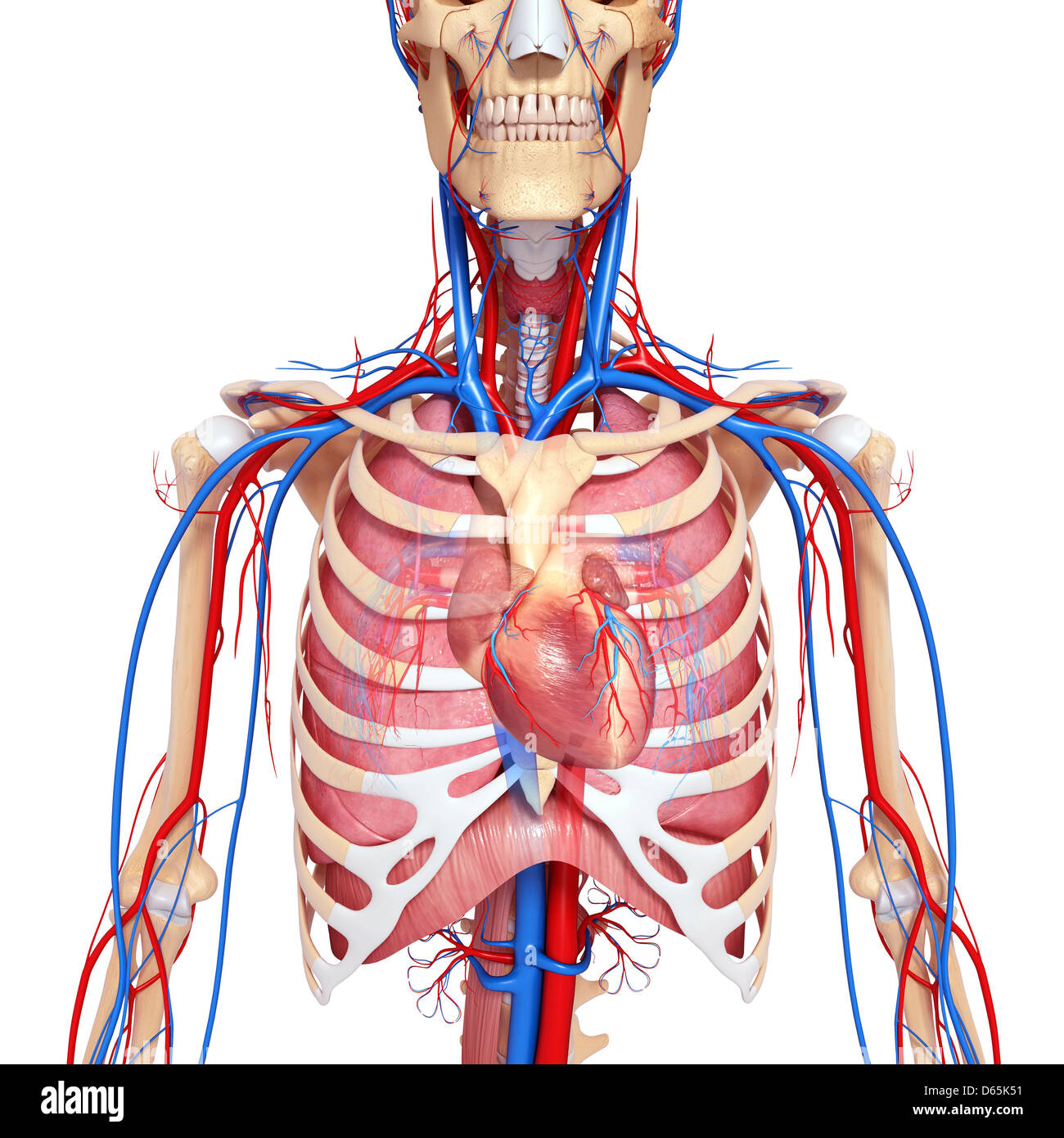 Throat And Chest Stock Photos Throat And Chest Stock Images Alamy