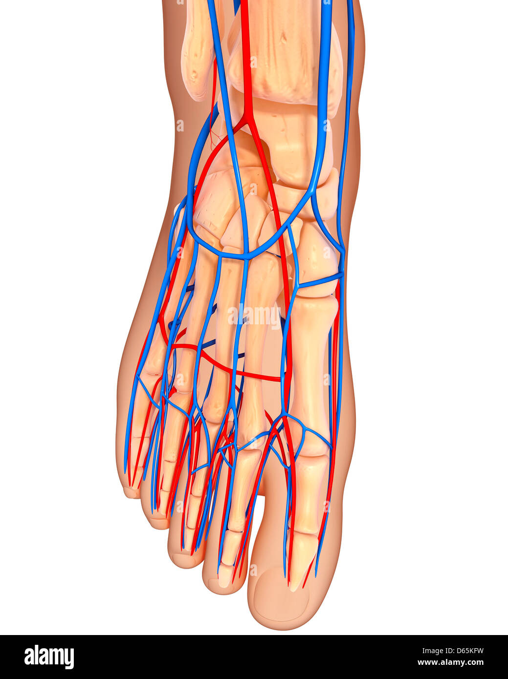 Foot anatomy, artwork - Stock Image