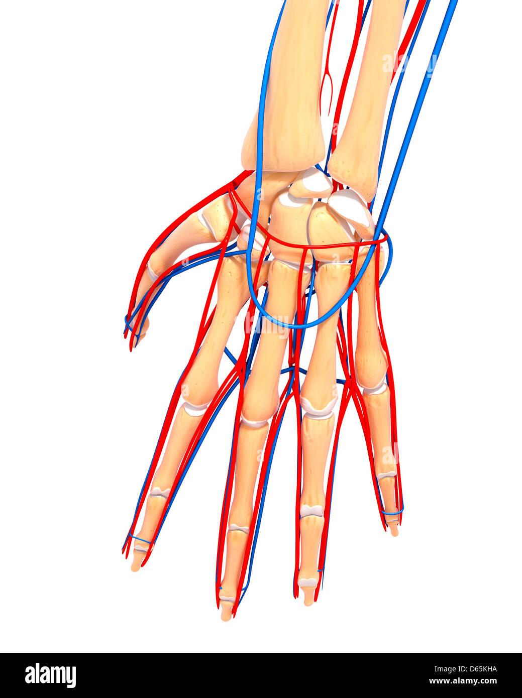 Skeletal Hand Stock Photos Skeletal Hand Stock Images Alamy