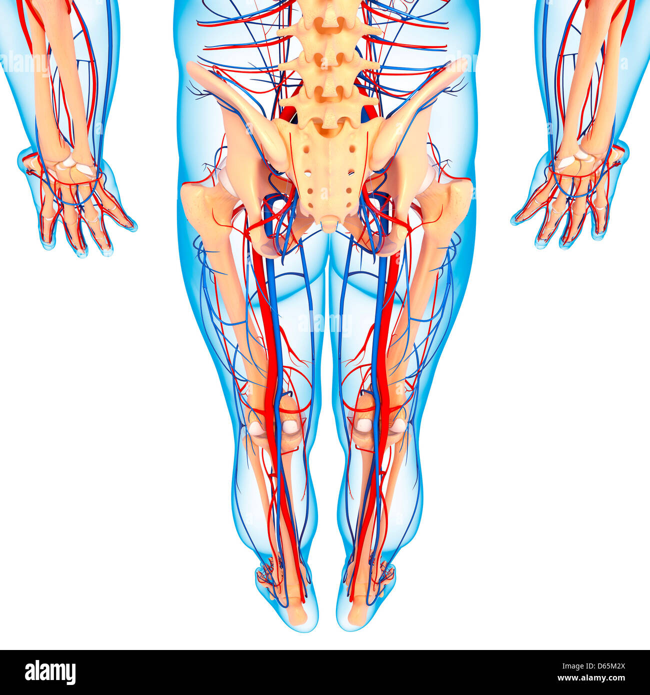 Lower Body Anatomy Artwork Stock Photo 55444562 Alamy