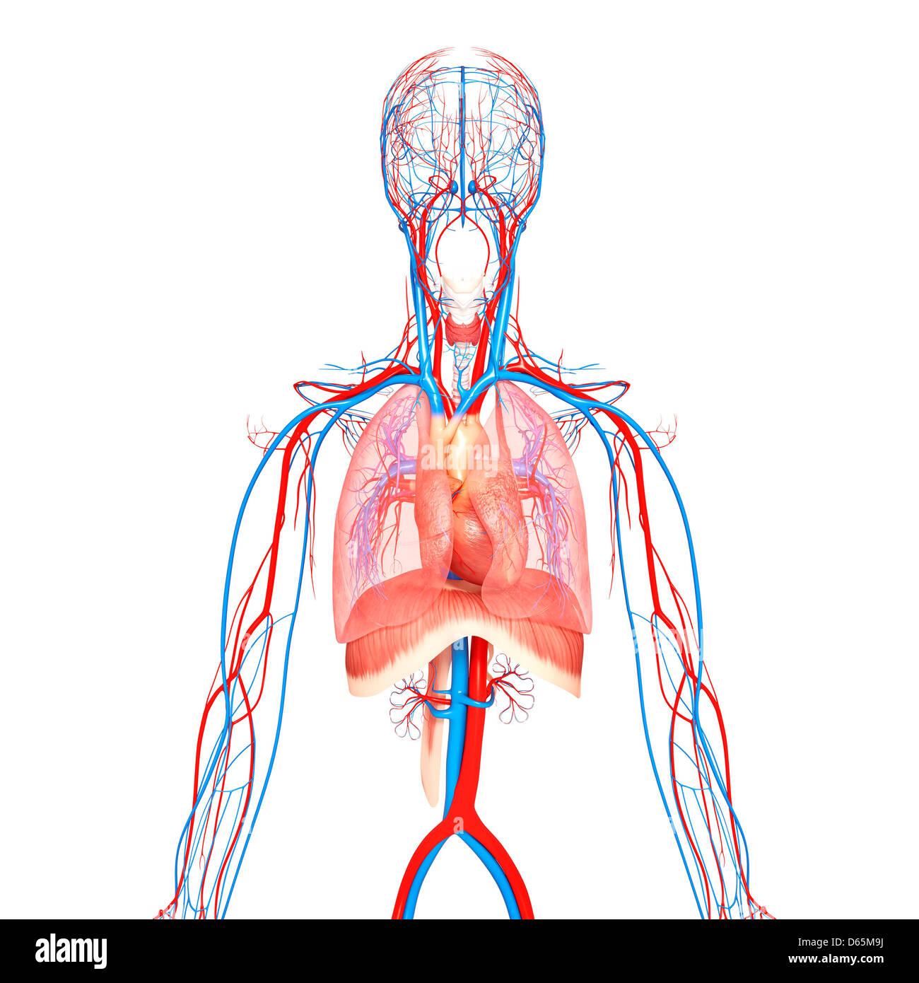 Human Thorax Anatomy Stock Photos Human Thorax Anatomy Stock