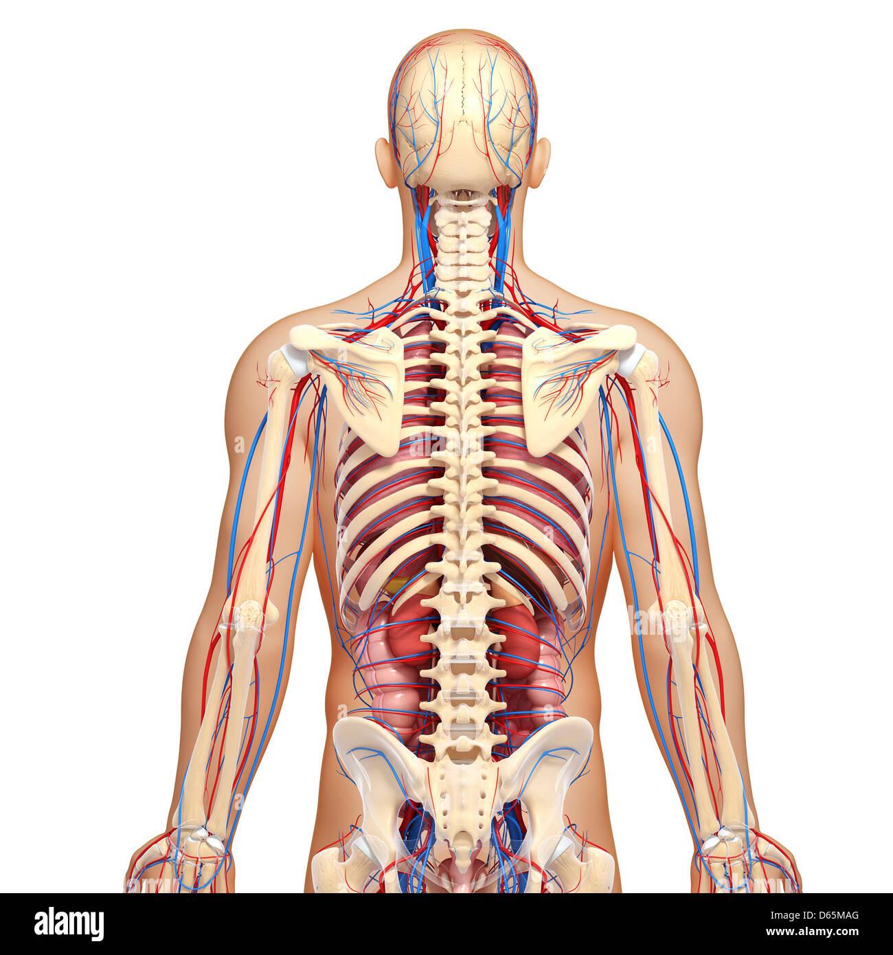 Spinal Cord Pelvic Girdle Stock Photos & Spinal Cord Pelvic Girdle ...