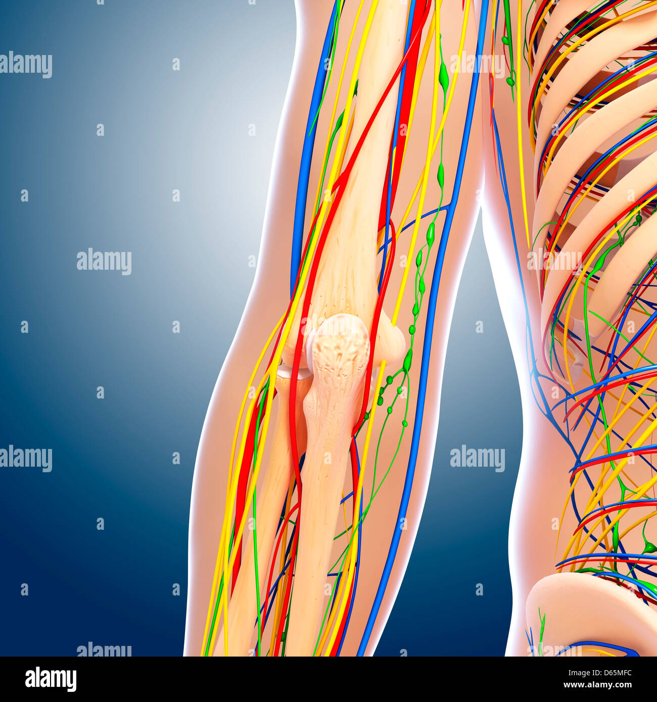 Human Skeleton Arm Elbow Anatomy Stock Photos & Human Skeleton Arm ...
