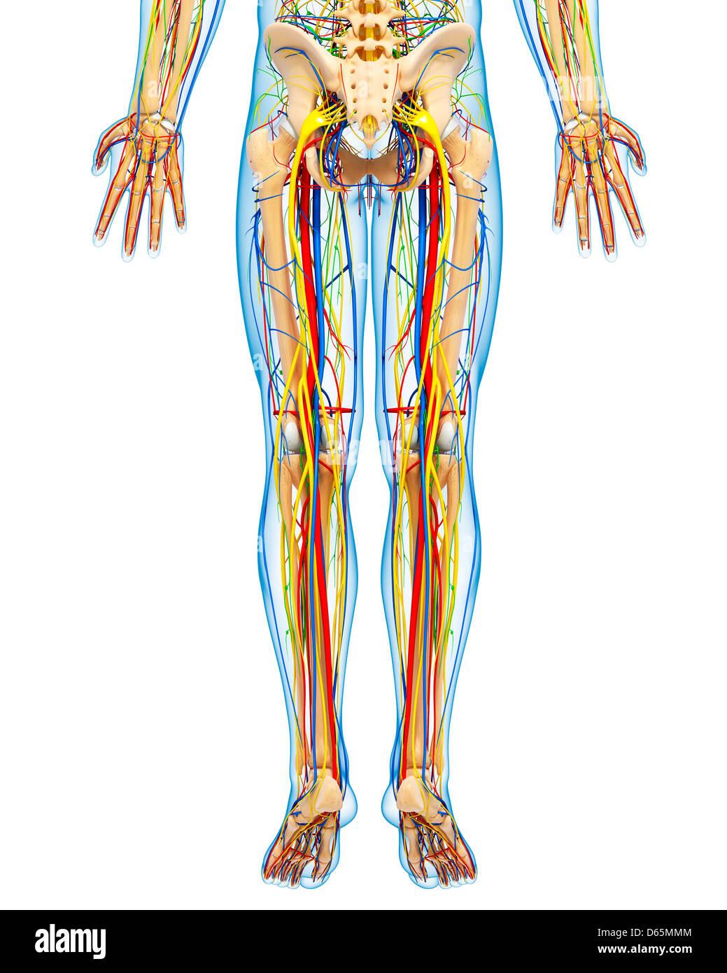 Lower Body Anatomy Stock Photos & Lower Body Anatomy Stock Images ...