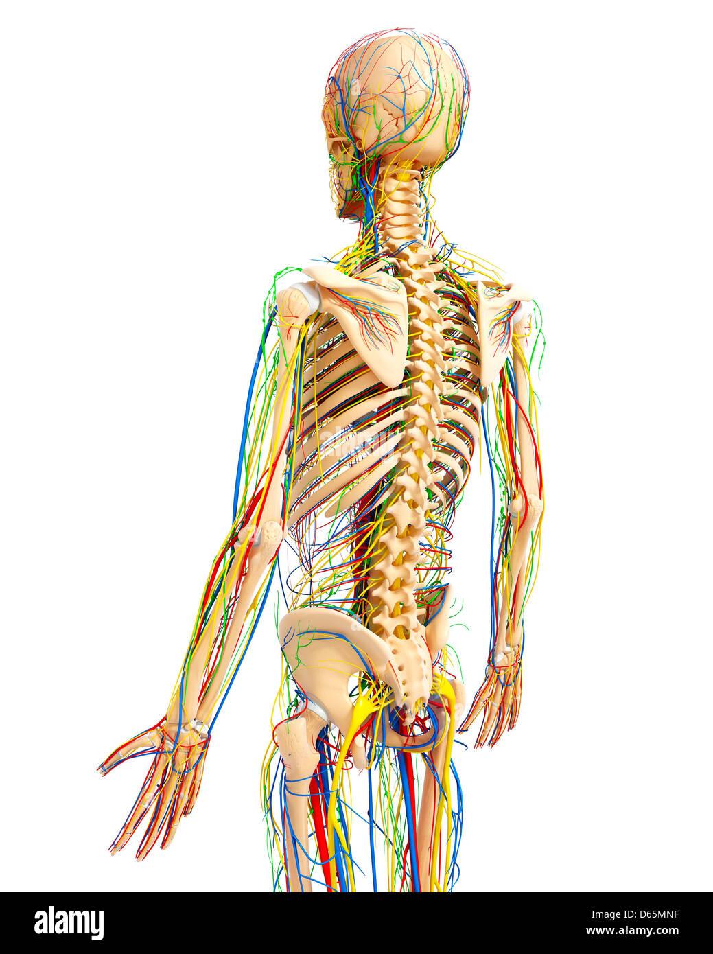 Anatomy Rear View Back Human Stock Photos Anatomy Rear View Back