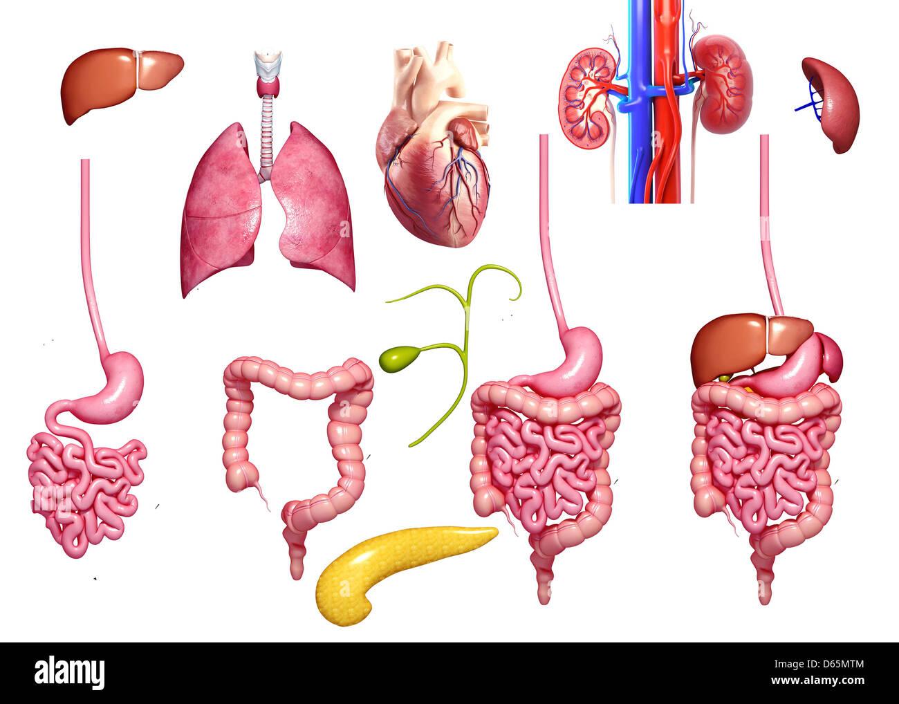 Human organs, artwork - Stock Image