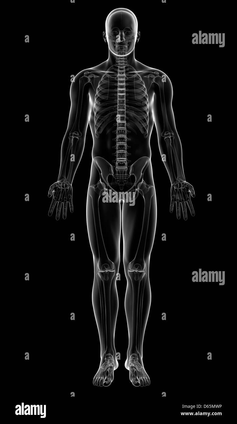 Male Human Skeleton Stock Photos Male Human Skeleton Stock Images