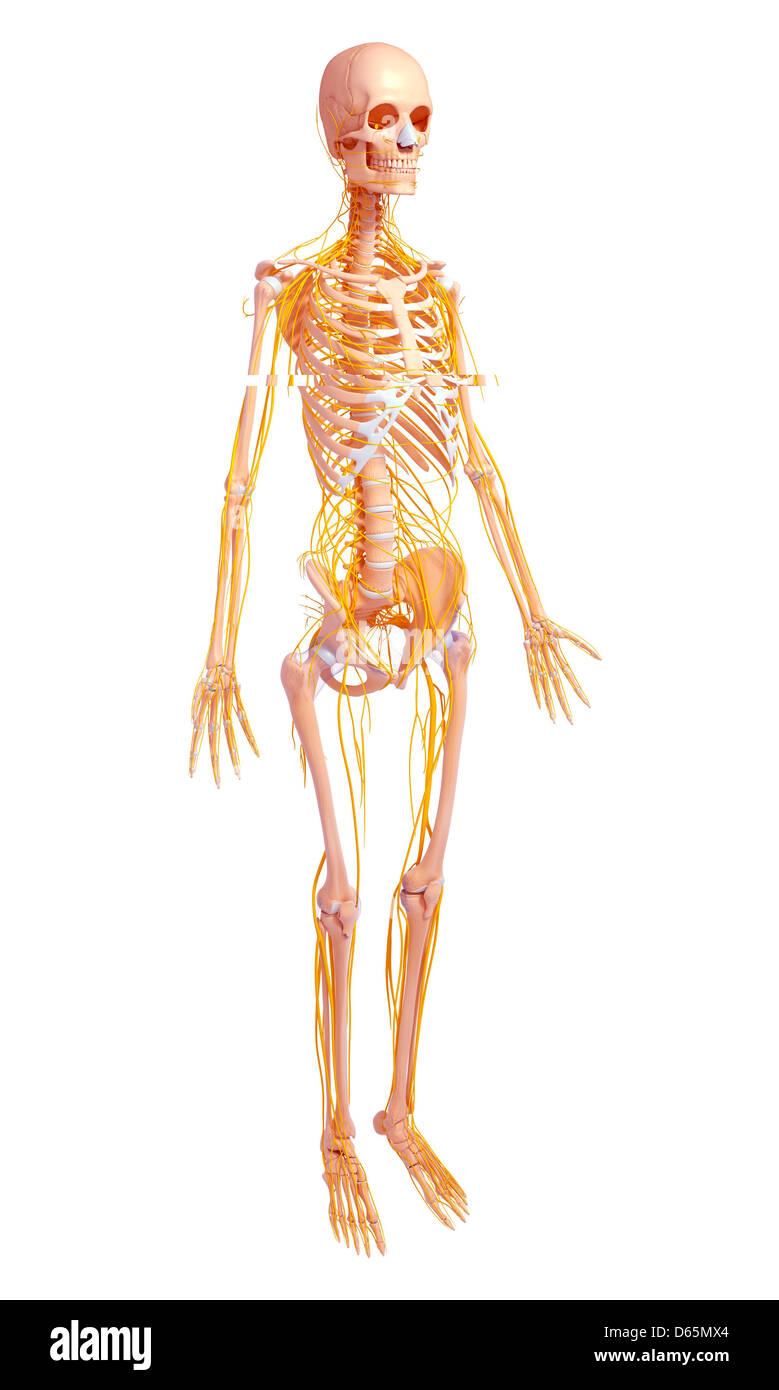 Human Body Anatomy Stock Photos & Human Body Anatomy Stock Images ...