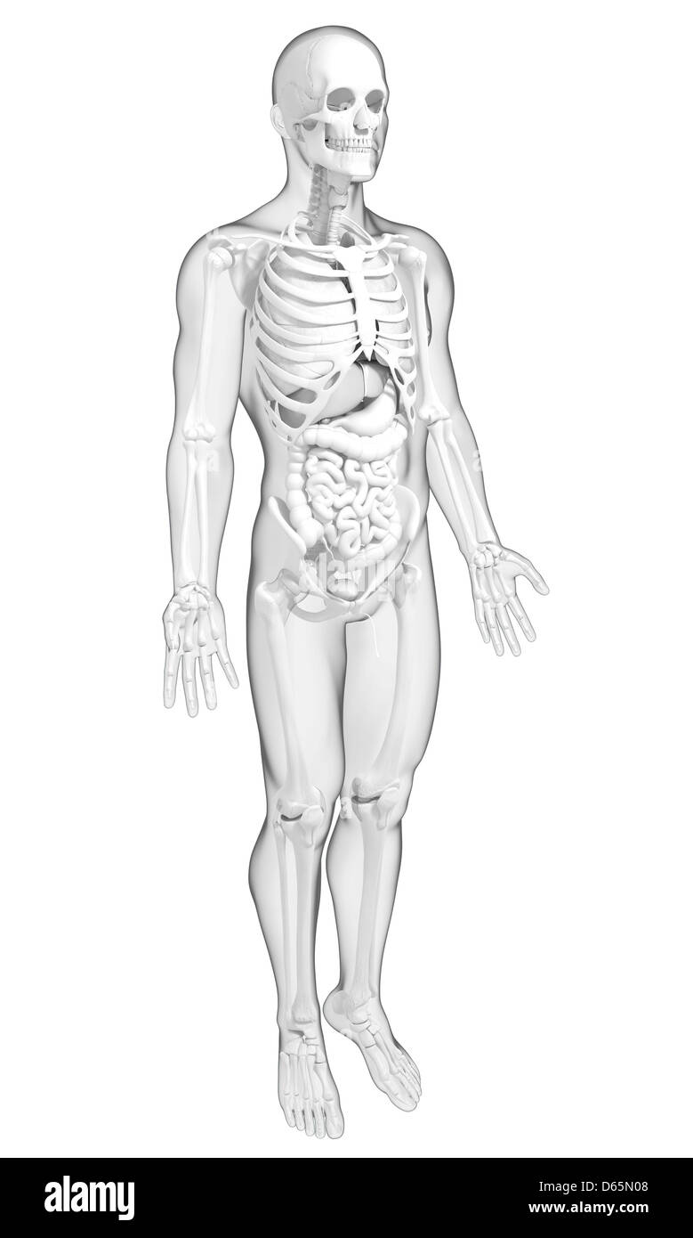 Male Bladder Anatomy Stock Photos Male Bladder Anatomy Stock