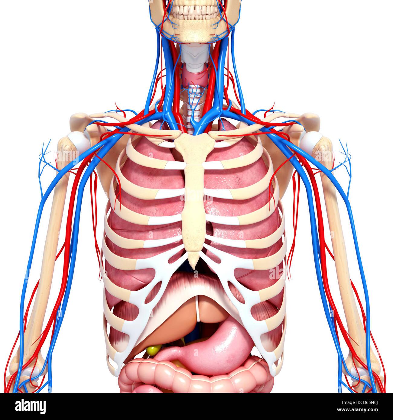 Upper Body Anatomy Stock Photos Upper Body Anatomy Stock Images
